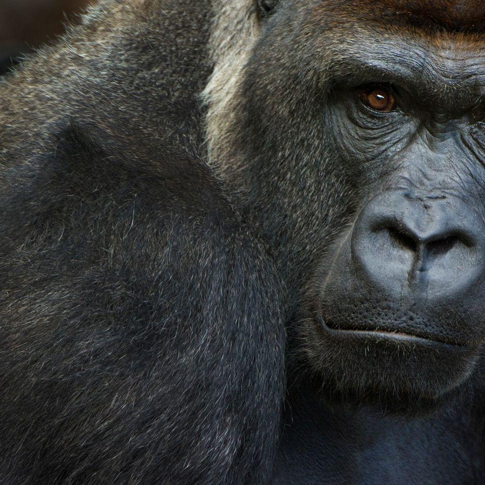 Plusieurs gorilles ont été testés positifs au coronavirus dans un zoo californien