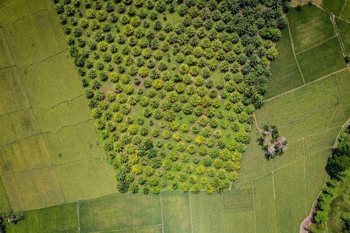 Une plantation de palmiers à huile dans le marais de tourbe de Caimpugan. La demande mondiale ...