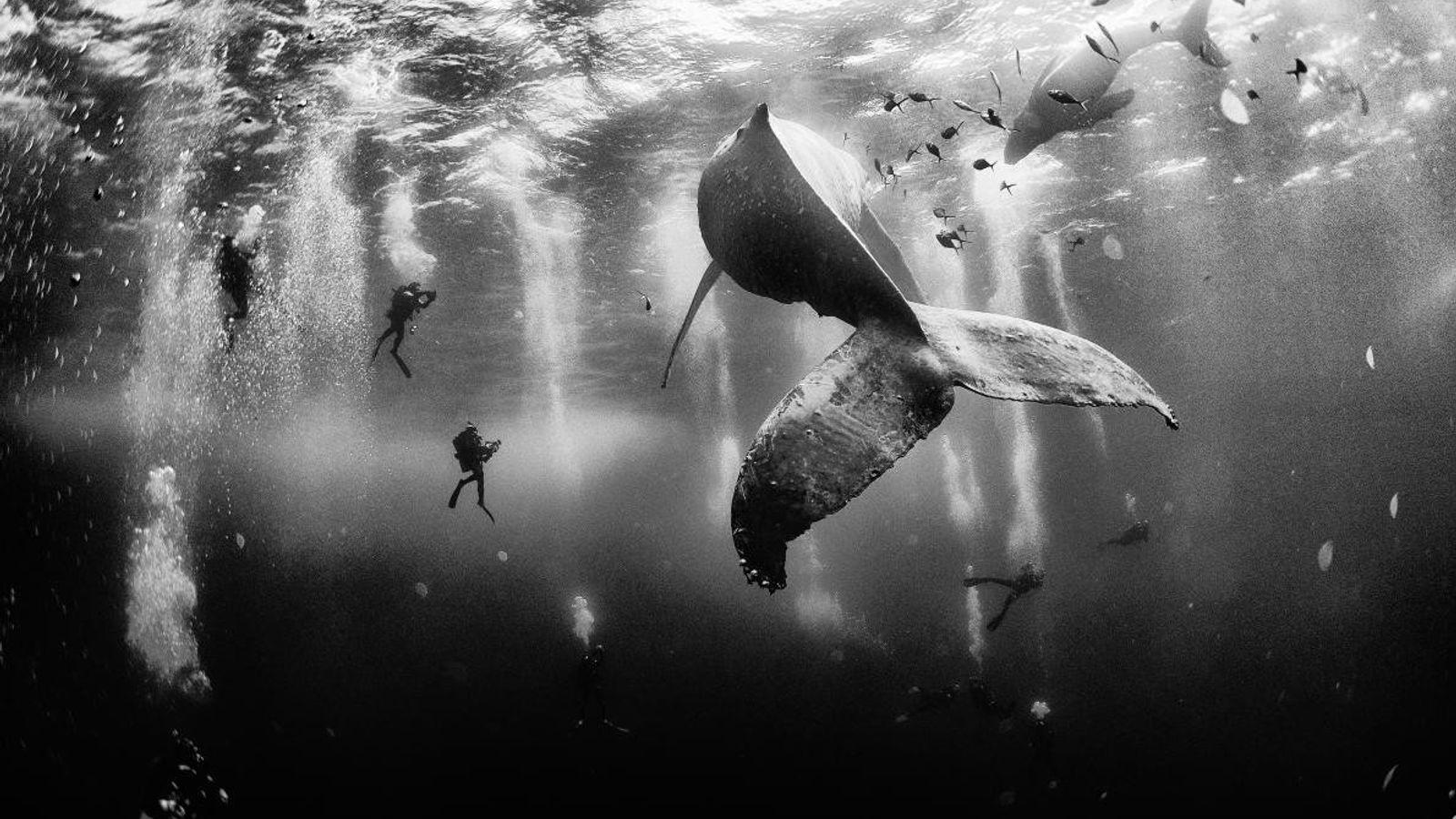 Cette image de plongeurs aux côtés de baleines à bosse au large de l'île de Roca ...