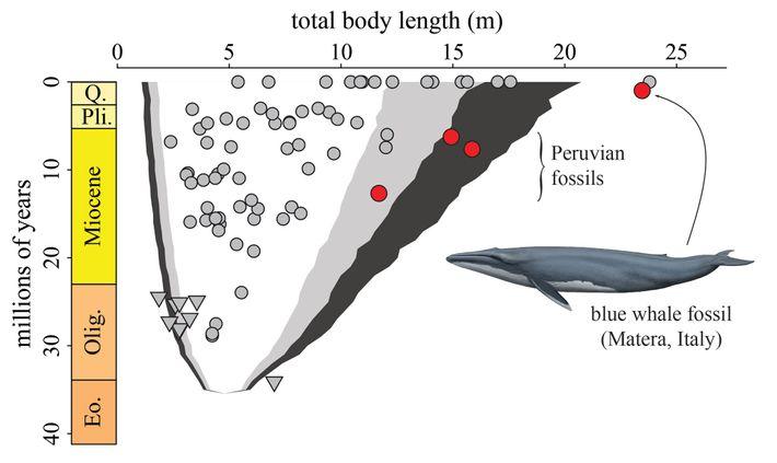 Ce graphique montre l'évolution dans le temps de la longueur du corps des cétacés à fanons. ...