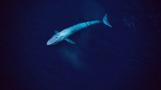 Une vue aérienne de la mer californienne de Cortés révèle une baleine bleue longue de 24 ...
