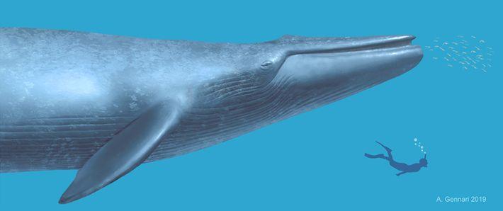 Cette illustration montre l'échelle entre un plongeur et l'ancienne baleine dont le fossile a été découvert ...
