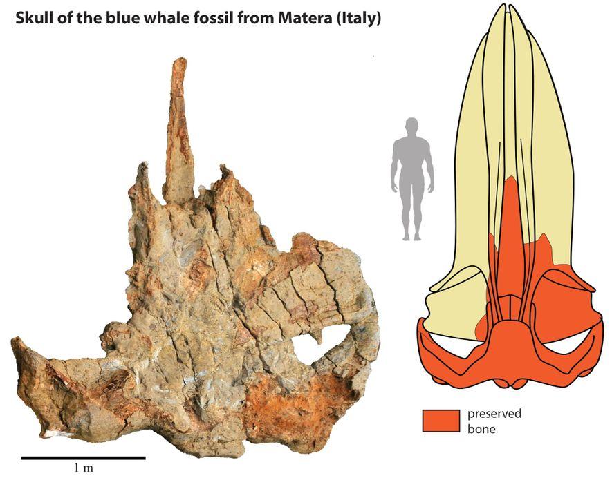 Le fossile de la baleine de Matera (à gauche) a permis aux scientifiques de recréer le ...
