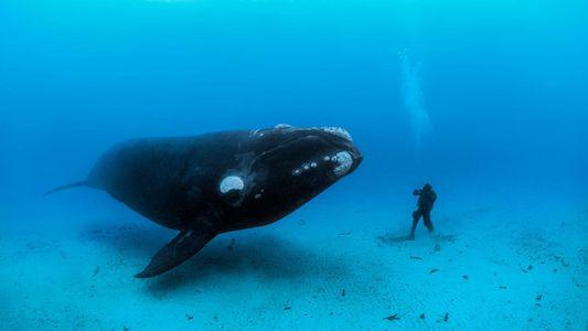 On ne recense plus que 412 baleines franches à travers le monde