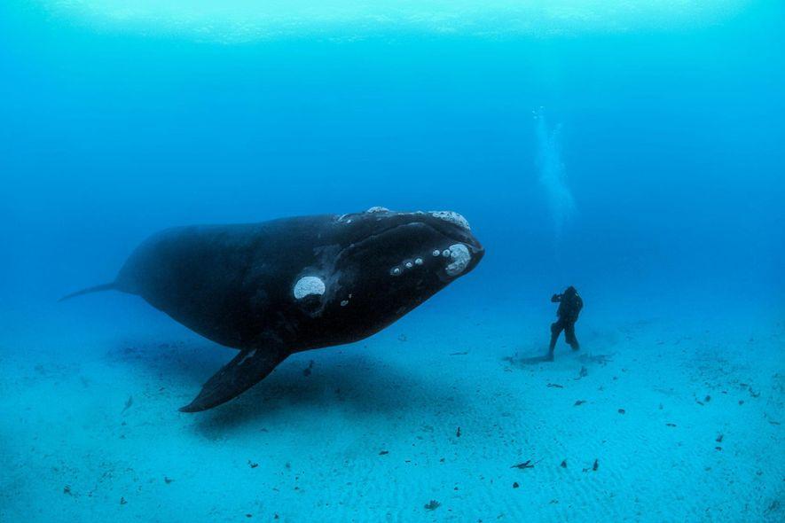 Au large des îles d'Auckland en Nouvelle Zélande, une baleine franche australe tombe nez à nez ...