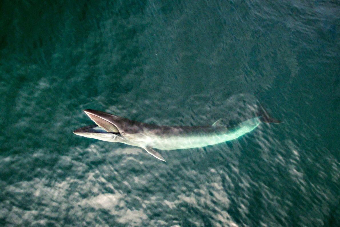 Baleine de Minke
