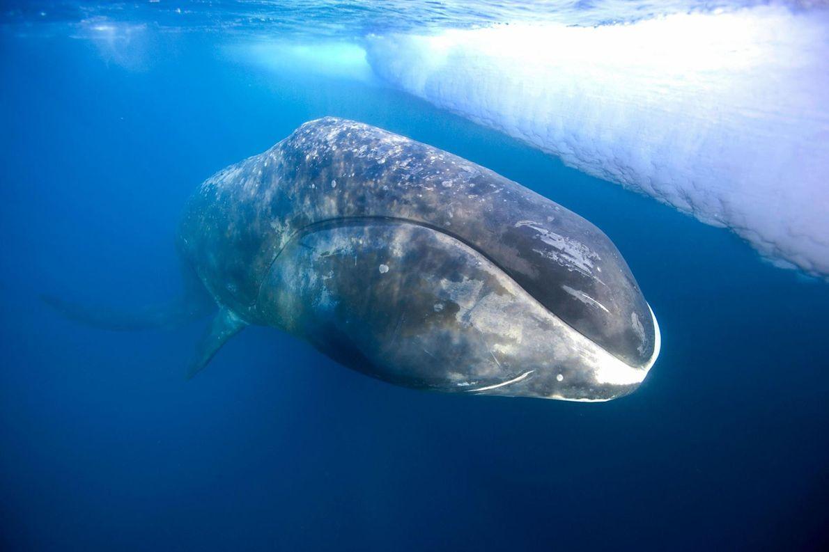 Baleine boréale