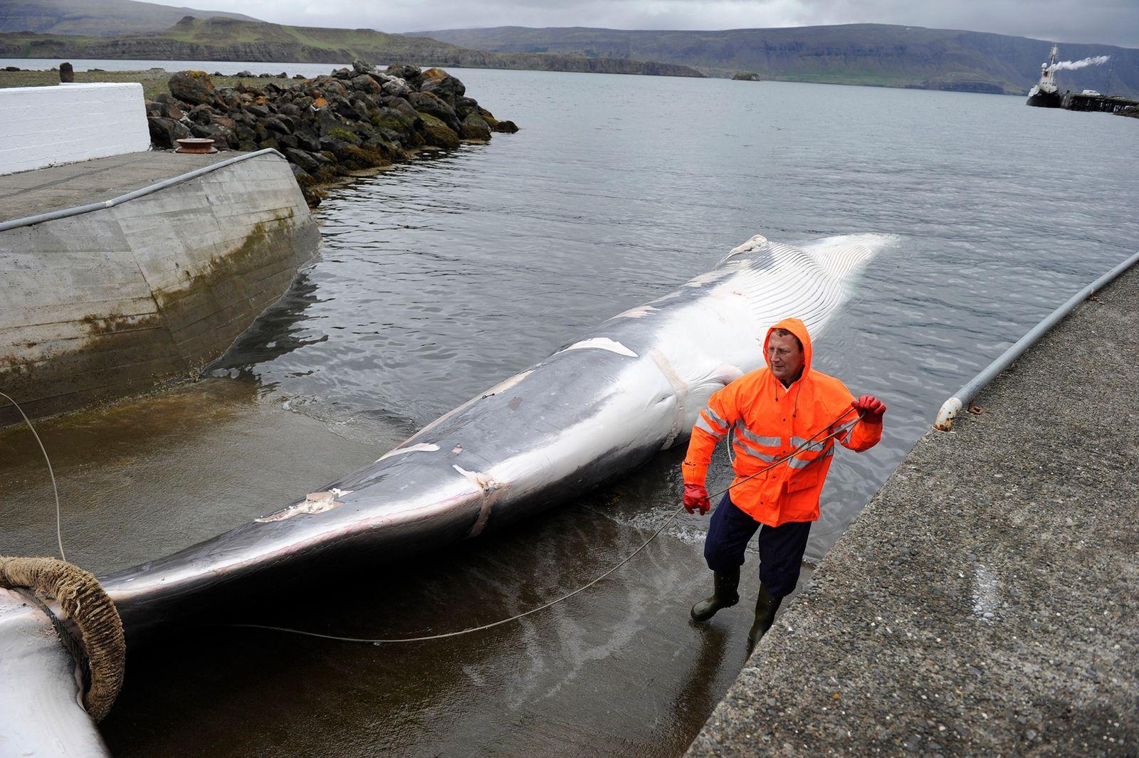 La chasse à la baleine pourrait bientôt prendre fin en Islande