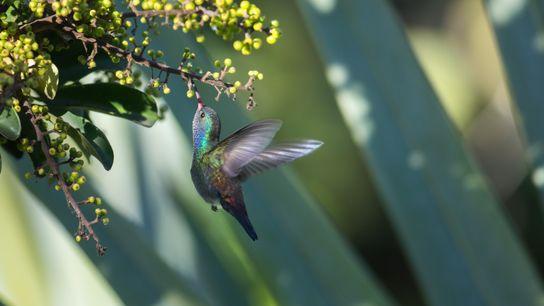 Un saphir azuré, une espèce native d'Amérique du Sud, butine une fleur.