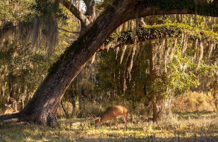 Un cerf de Virginie broute à l'ombre d'un chêne à proximité d'Ocala en Floride. Dans le ...
