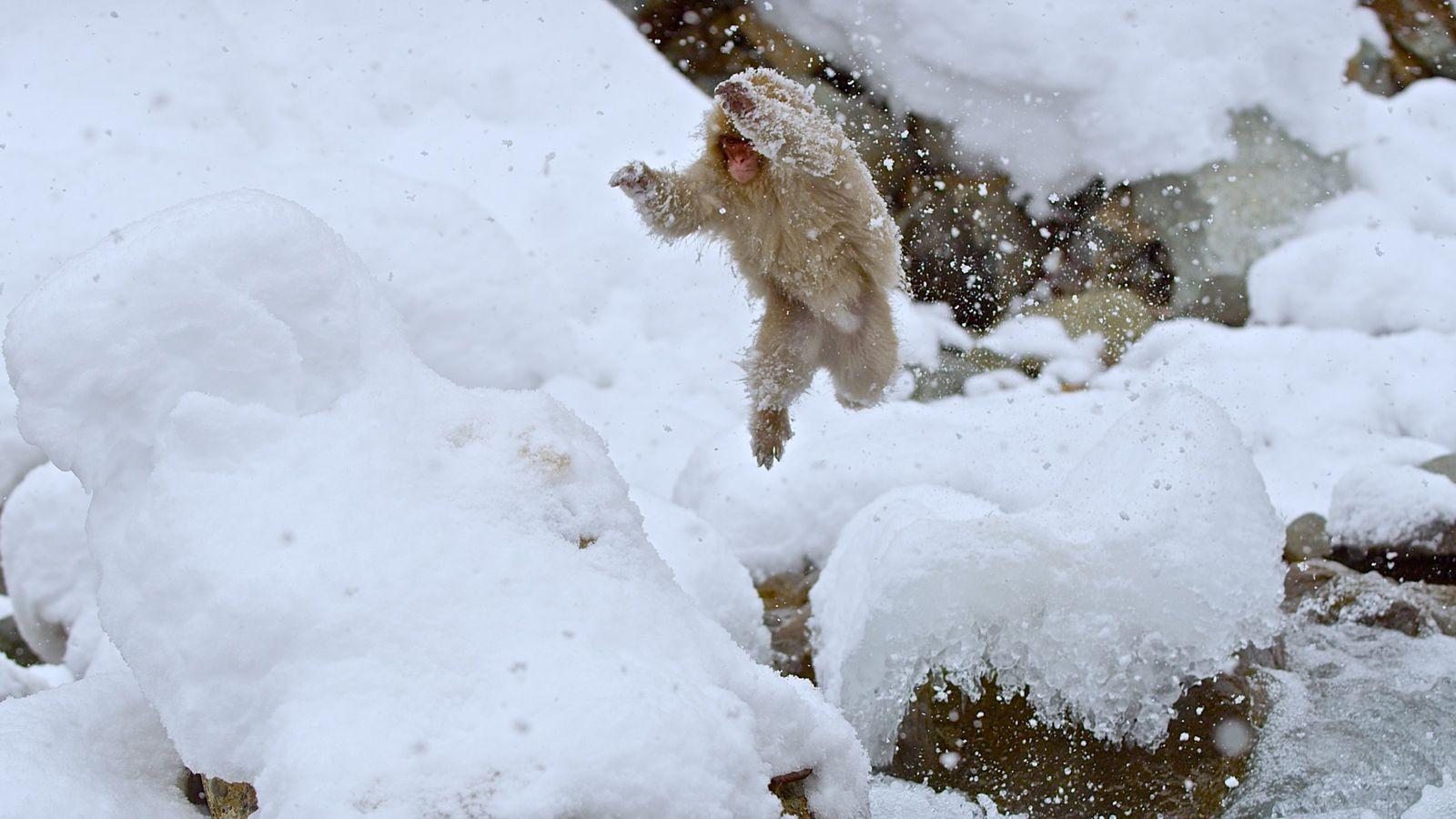 Hiro, un macaque japonais, court dans la neige au cœur des Alpes japonaises. Les macaques japonais sont ...