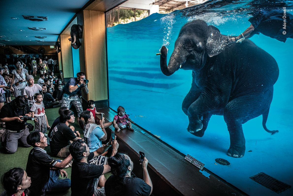 A young elephant performs underwater for spectators in Thailand. This image, by Australian photographer Adam Oswell, ...