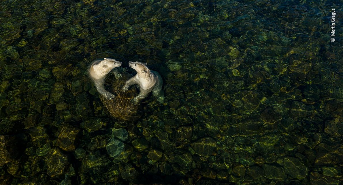 Slovakian-Canadian photographer Martin Gregus used a drone to capture two female polar bears playing in shallow ...