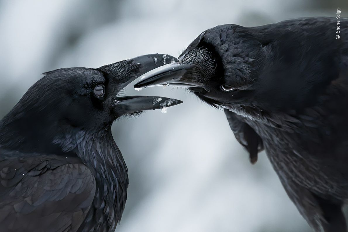 Canadian photographer Shane Kalyn won the award for Bird Behavior for this image of a raven ...