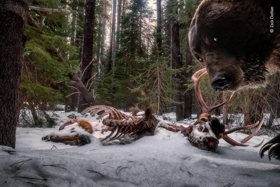In Montana, American photographer Zak Clothier set up a camera trap in bull elk remains. Later, ...