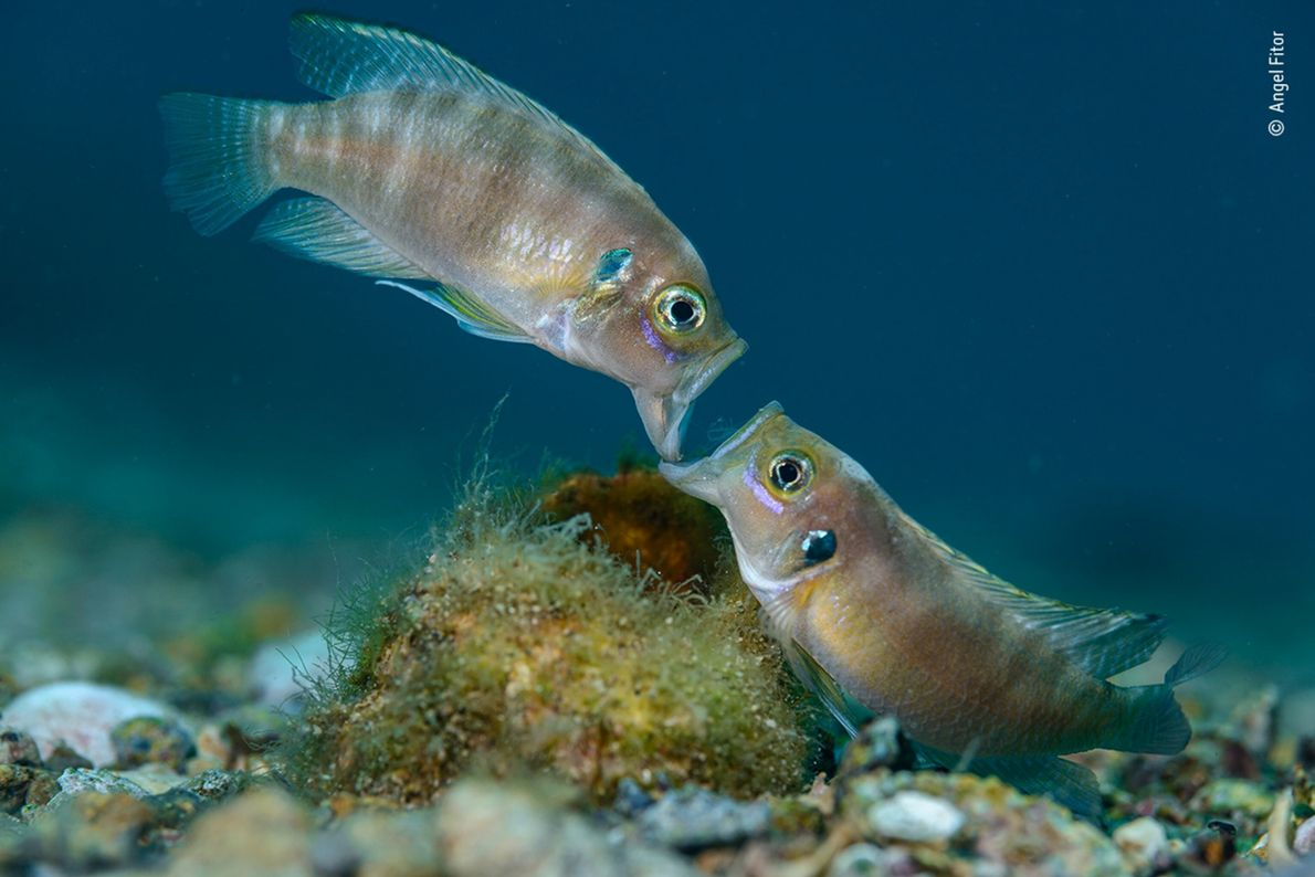 Two male cichlid fish fight jaw to jaw over a snail shell in Lake Tanganyika, the ...