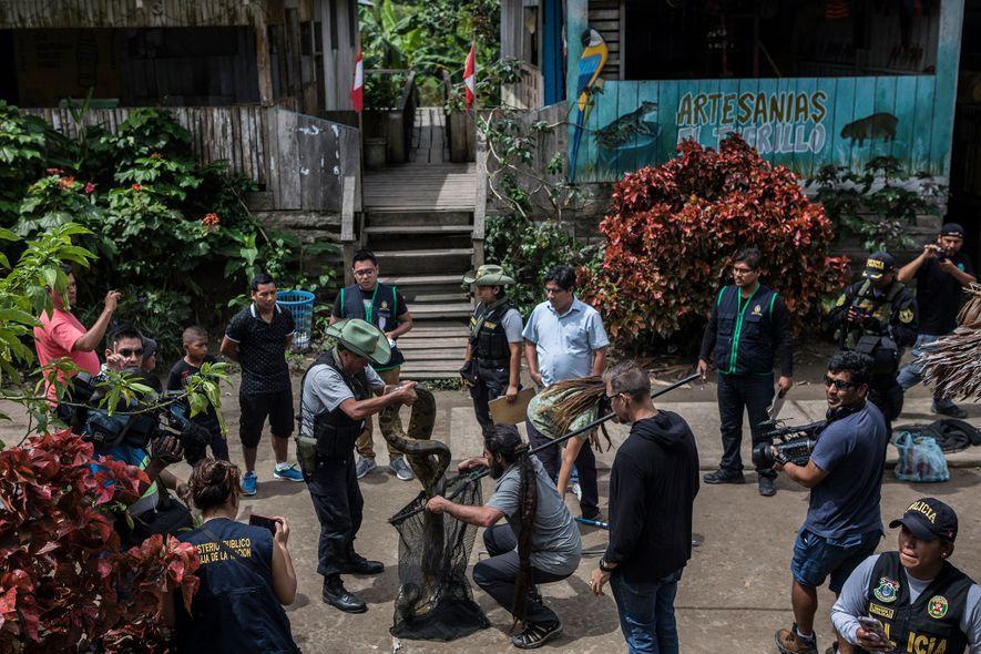 Sous le regard des policiers et des habitants de Puerto Alegría, des spécialistes des animaux sauvages ...