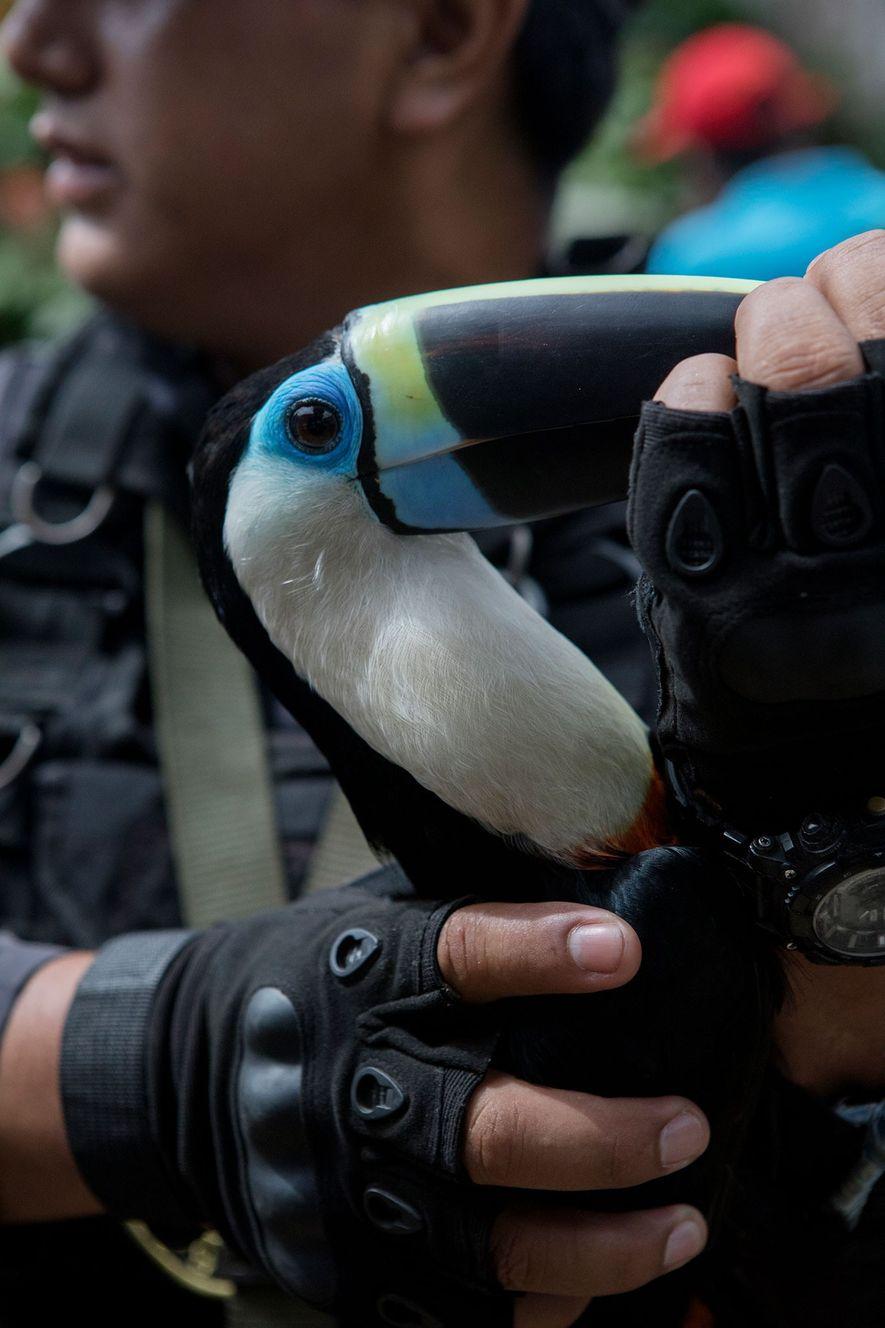 Ce toucan est l'un des 14 oiseaux qui ont été sauvés. Des perroquets et des aras ...