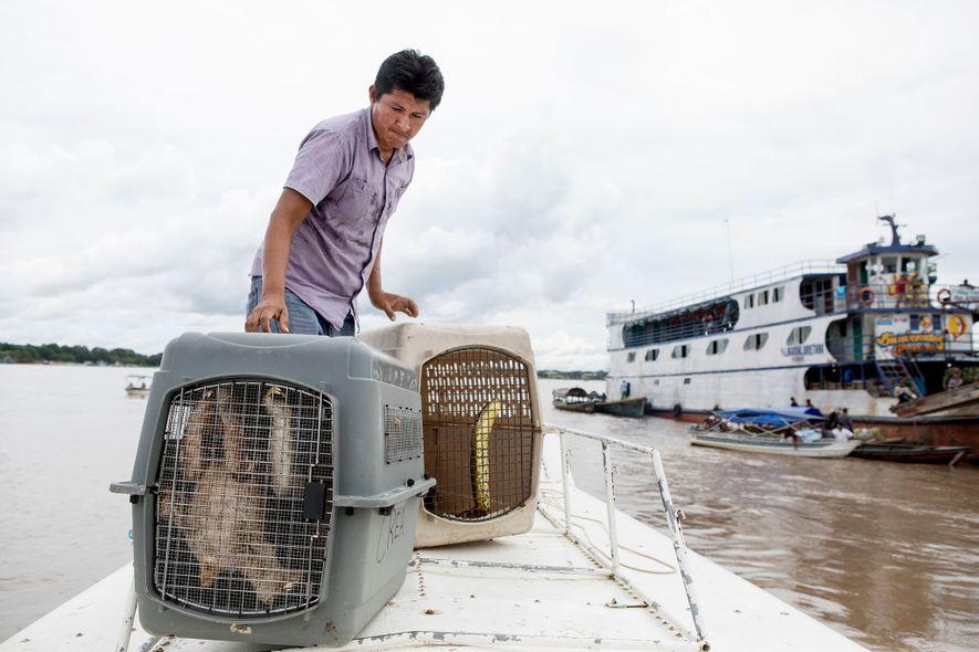 Un vétérinaire monte à bord d'un bateau deux paresseux et un anaconda. Les autorités ont transporté ...