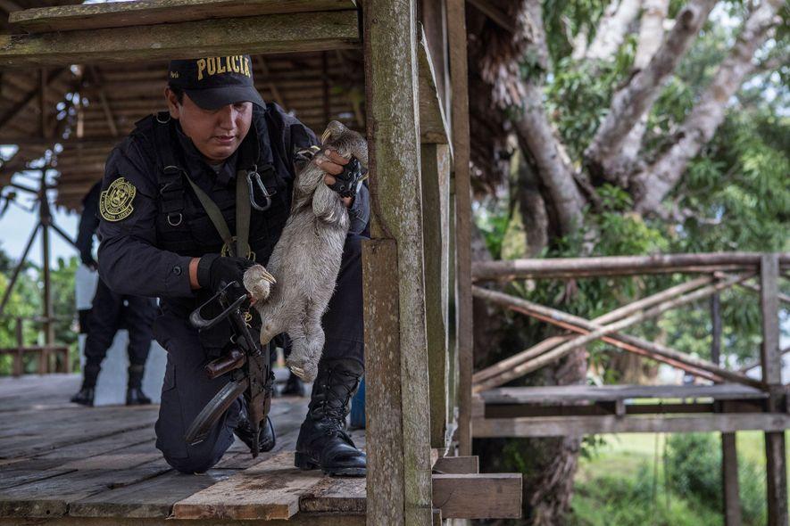 Un policier enlève un paresseux d'une rambarde en bois. Cette grande plateforme est la principale « ...