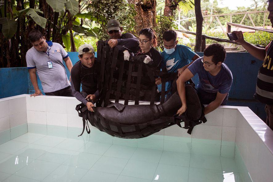 Au Centro de Rescate Amazónico, un centre de réhabilitation pour les animaux sauvages, des vétérinaires descendent ...