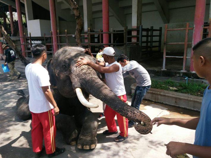 Des vétérinaires du Department of Livestock (en français, ministère de l'élevage, ndlr) de Thaïlande prélèvent des ...