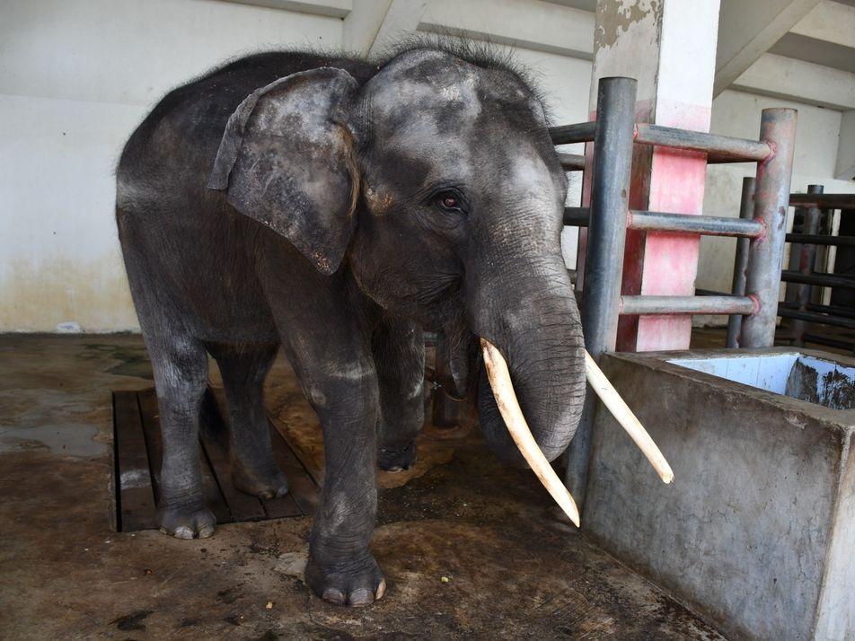 Le calvaire de cet éléphant a déclenché une vague d'indignation internationale
