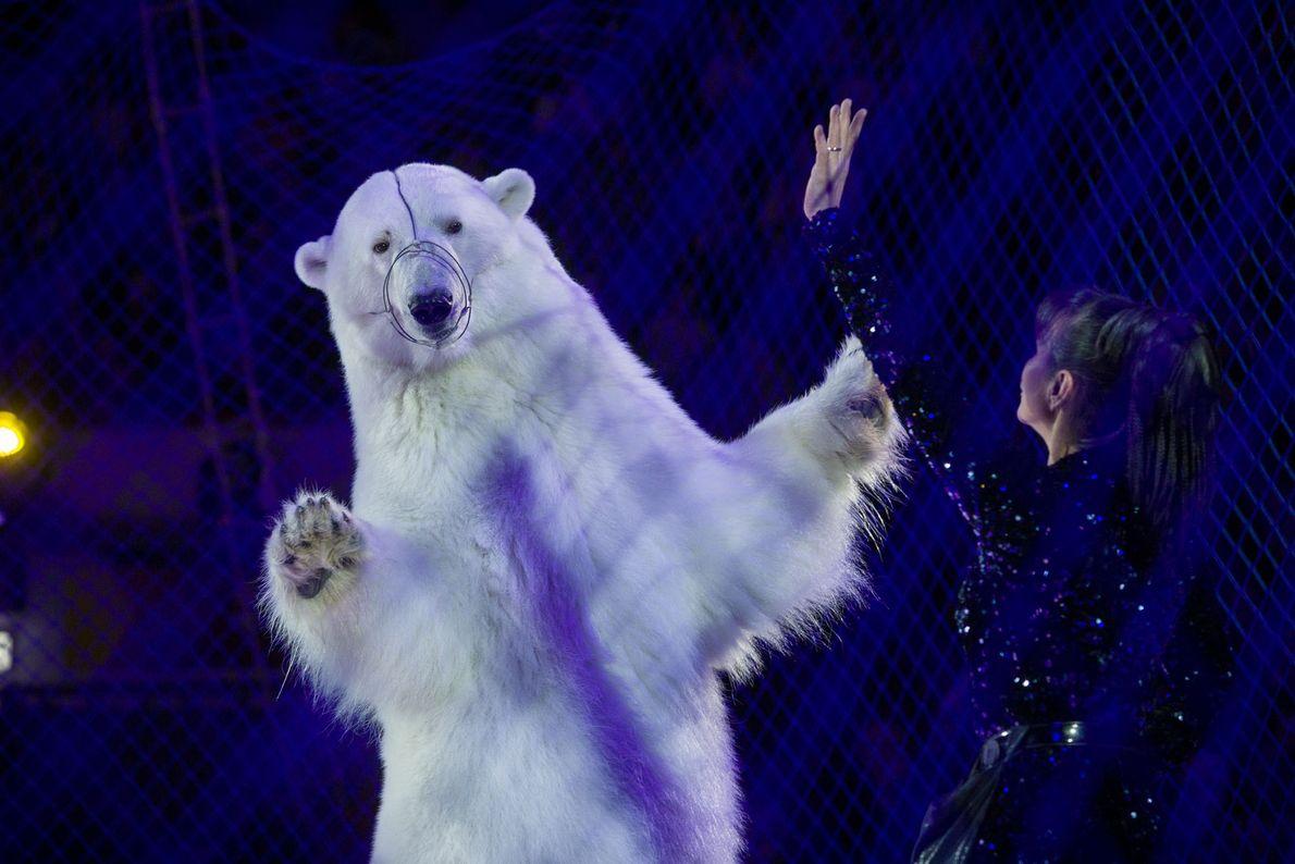 Maintenu derrière un grillage, un ours polaire danse pour le Cirque sur glace de Kazan, en ...