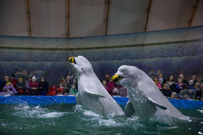 Des bélugas se donnent en spectacle dans un aquarium itinérant placé sous une tente gonflable à ...