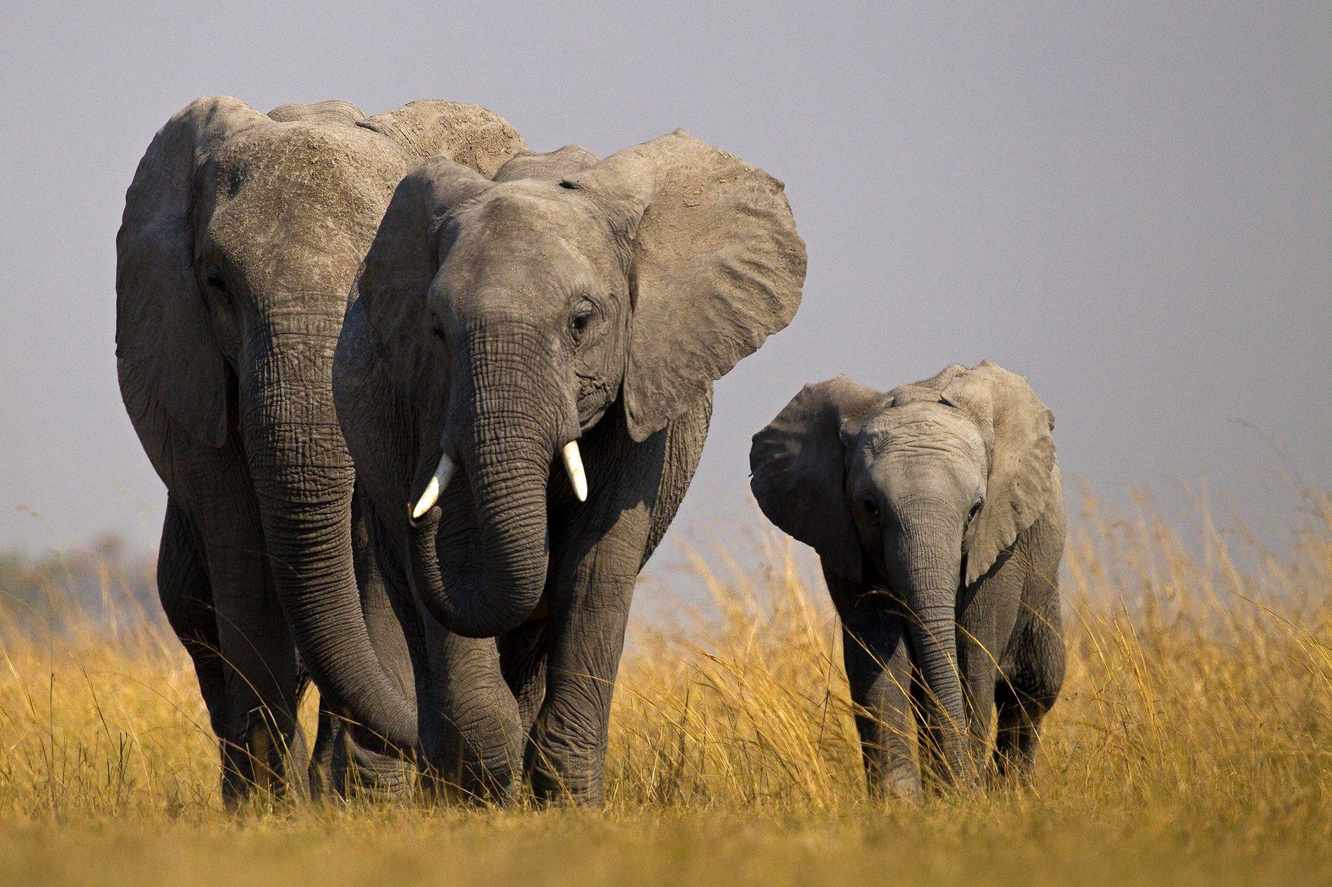 Cette année, il est devenu nettement plus difficile pour les pays africains d'envoyer des éléphants sauvages ...