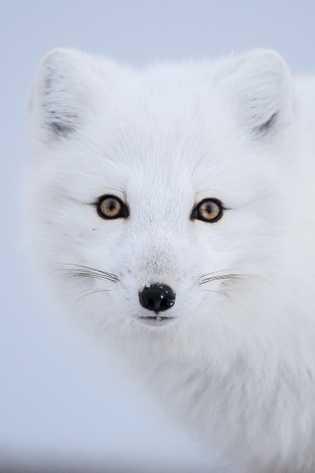 Lors d'un safari hivernal canadien, vous aurez l'occasion de voir de près de nombreuses espèces sauvages, ...
