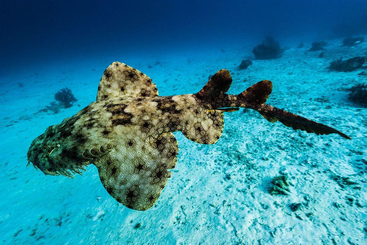 Un requin-tapis barbu. Friwinbonda, îles Raja Ampat, Indonésie.