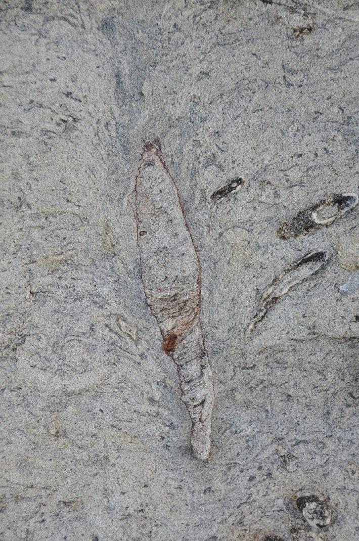 Le sommet de ce terrier fossilisé découvert à Taïwan présente une structure d'effondrement en forme de ...