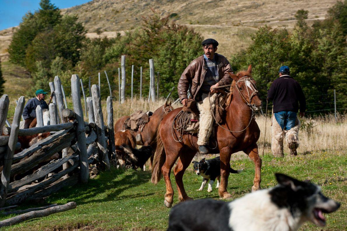 Un homme à cheval rassemble les vaches d'un corral dans un ranch familial en bordure du ...