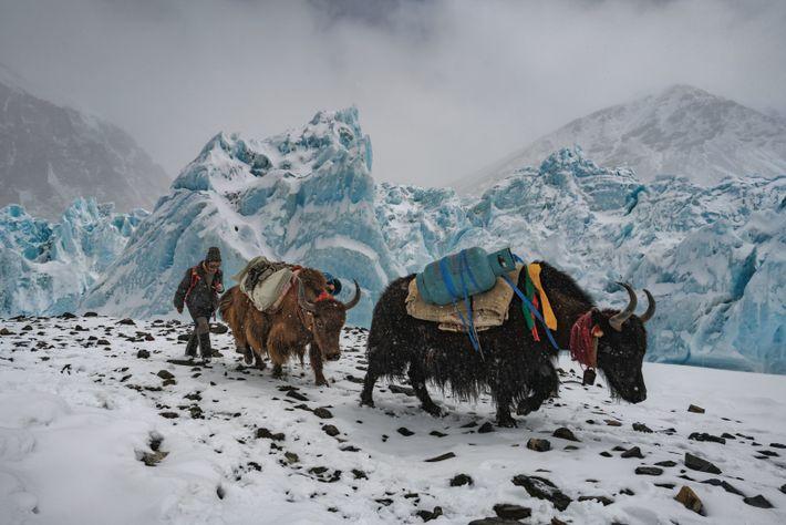 Les clochettes des yacks tintent tandis qu'ils grimpent vers le camp de base avancé, situé à ...