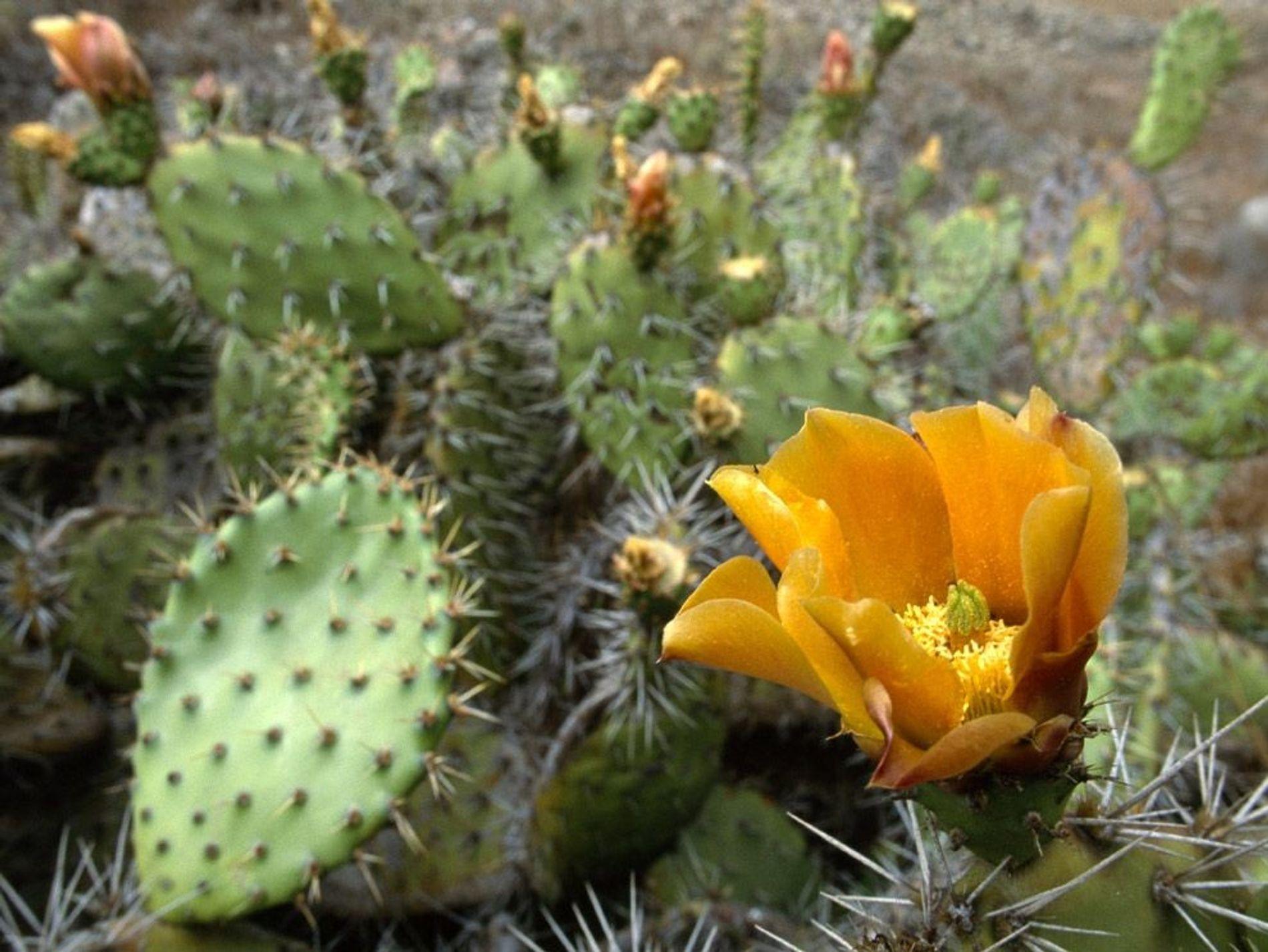 La floraison jaune de ce Figuier de Barbarie illumine ce désert de Californie. Les cactus sont souvent perçus comme les plantes désertiques par excellence alors qu'ils sont rarement l'espèce majoritaire dans les zones désertiques.