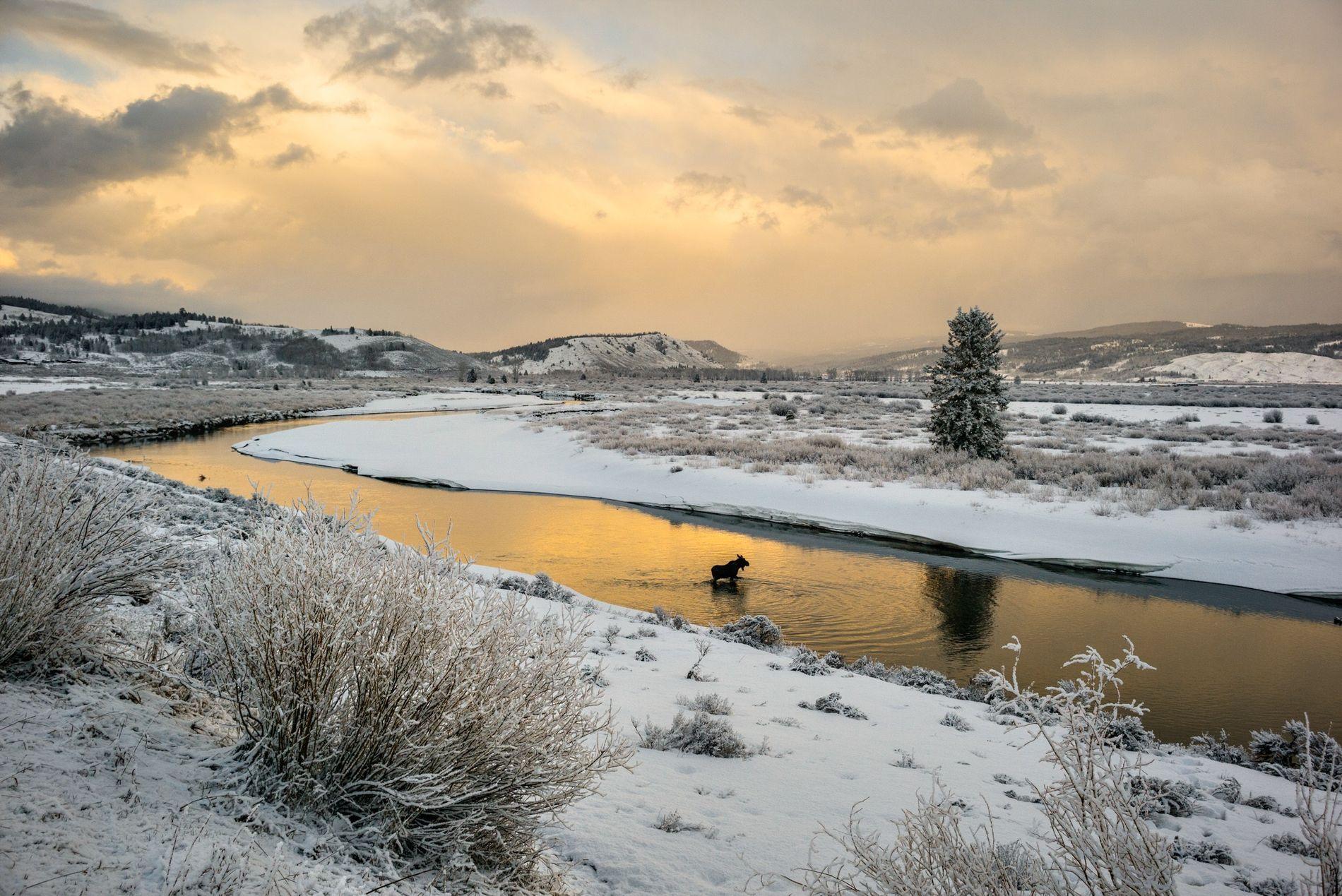 Sur cette image, on voit un élan traverser la rivière Buffalo Fork, près du Grand Teton.