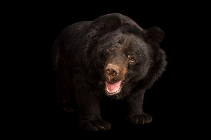 Selon Daniel Taylor, un ours noir d'Asie, comme celui ci-dessus photographié au jardin zoologique de Kamla ...