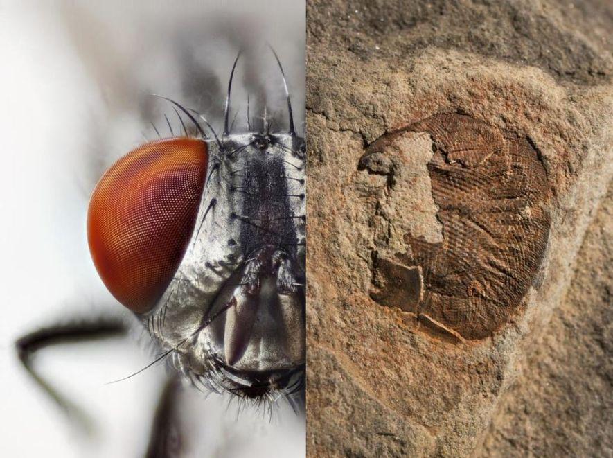 Les yeux composés ont évolué rapidement au Cambrien, il y a plus de 500 millions d'années. ...