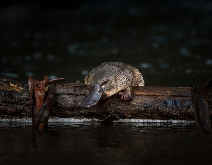 Ce jeune ornithorynque vient tout juste d'être relâché à McMahons Creek, dans l'État de Victoria. Pour que ...