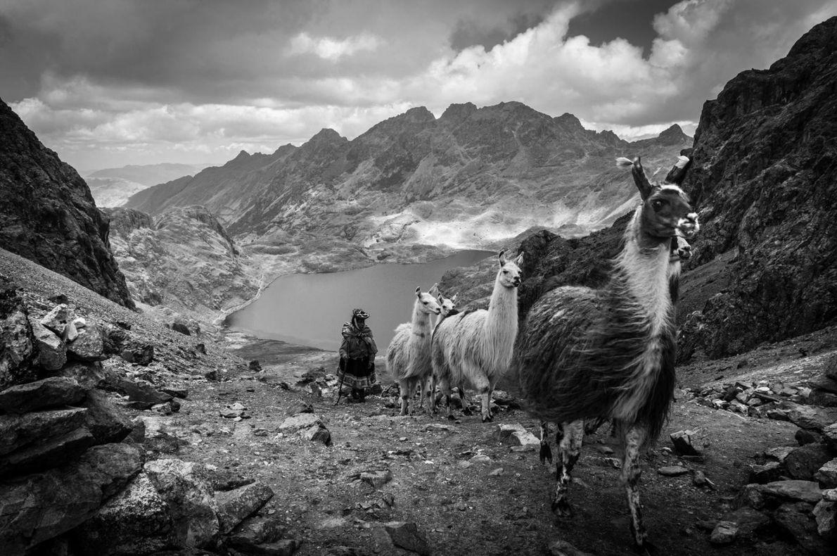 Au Pérou, dans la Cordillière des Andes, un troupeau de lamas et leur gardien empruntent la ...