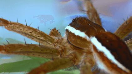 Cette araignée est capable de respirer sous l'eau