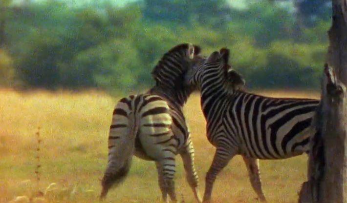 Deux zèbres s'affrontent lors d'un duel acharné