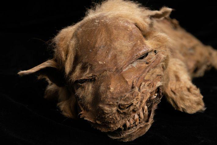 L'excellent état de conservation du louveteau Zhur permet aux scientifiques d'étudier les caractéristiques physiques de l'animal ...