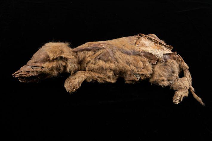 Âgée de seulement sept semaines lorsqu'elle trouva la mort, cette jeune louve grise appartenait à une ...