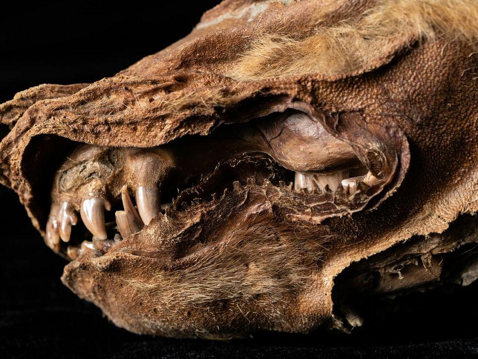 Découverte d'un louveteau mort il y a 57 000 ans dans le Yukon